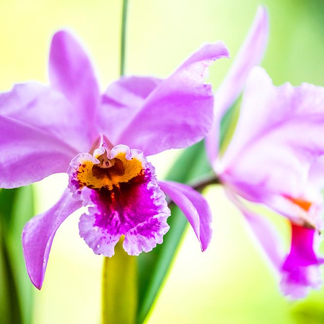 orquideas y tradicion5
